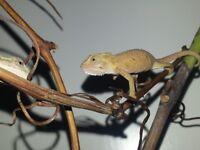 South African Dwarf Old World Lizard