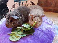 Baby Rex Guinea Pigs