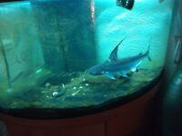 18-20 inch hi fin shark