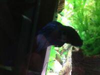 Betta fish (Siamese fighter)