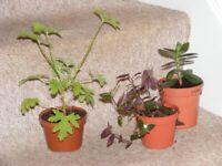 sets of 3 houseplants £5
