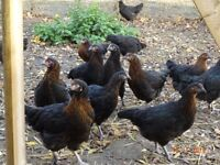 CHICKENS MARAN HYBRIDS 15 WEEKS OLD VACCINATED £12 EACH