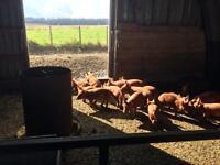 Tamworth piglets