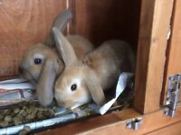 Two baby lopped ears rabbits