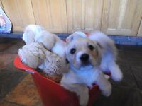 Puppies, Cross between King Charles and a Bichon Frise Westie Mix