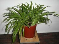 House Plants - Big Spider Plants and Dwarf Elephant Ear Plant
