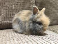 Female Lionhead Rabbit for sale £40
