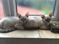 2 beautiful Snow Bengal kittens