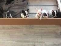 8 beautiful French bulldog puppies for sale 3 girls and 5 boys. Very playful Mum and dad are my pets