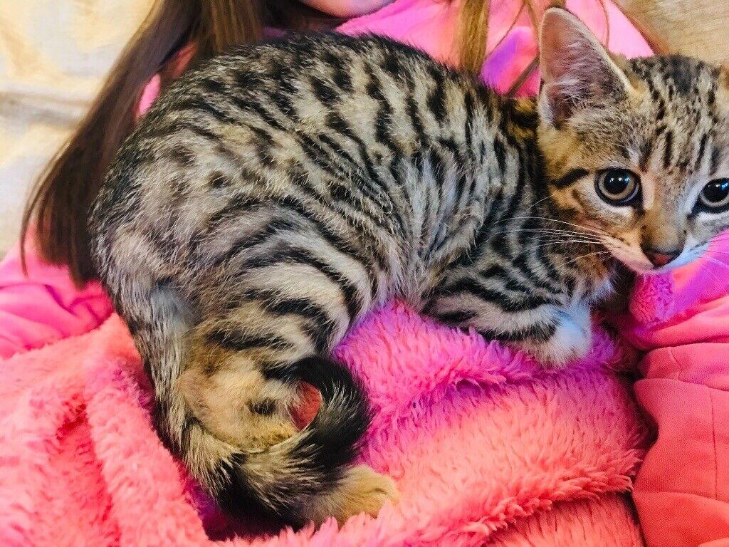4 Images Bengal Cross Kittens For Sale Bath Somerset Bengal Cross