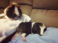 Male bonded Guinea pigs