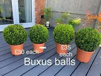 Buxus balls - plants- garden