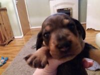 Chocolate and Tan mini smooth puppies Lincoln