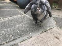 Buck lop rabbit