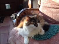 Tortoishell and white long haired fluffy cat: Kizzy, very friendly, elderly and a much loved pet