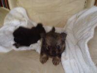 pomeranian cross chihuahu puppys