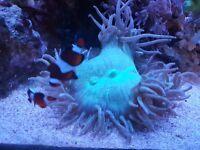 Elegance coral ( Catalaphyllia jardinei )