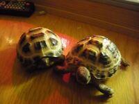 2 x TORTOISE