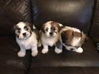 Lhasa Apso Puppies, Now Ready