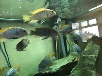 Mbuna Cichlids Bundle fish