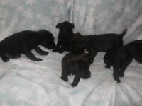 PATTERDALE TERRIER PUPS 3 BOYS AND 3 GIRLS AVAILABLE READY TO GO NOW