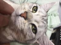 British shorthair male kitten left