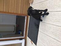 KC Registered Black Labrador Boy Puppy Dog