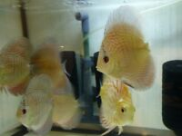Leopard Snakeskin Discus Tropical Fish
