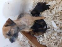BORDER TERRIER PUP(..ONLY TWO BOY PUPS LEFT..)