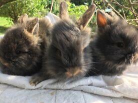 three beautiful Lionhead babies