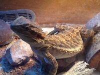 Bearded Dragon, Vivarium and cricket house