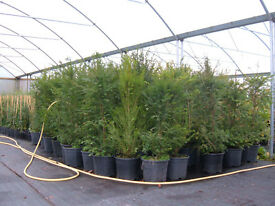 YEW hedging 12lt potted 4-5ft tall unbeatable value £20,THE KING OF HEDGES PLANT NOW.LOW,LOW, PRICE