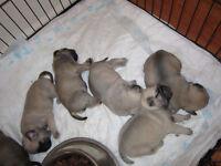 Pug Puppies Males