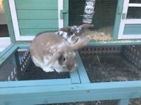 2 Beautiful Unneutered female Mini Lop Rabbits, hutch included in price (6months)