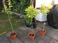 Orange, lemon and lime tree for sale!