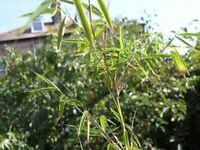 6 Garden Plants inc Agapanthus, Bamboo,Arum Lillies, Weymouth