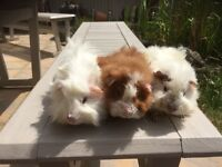 Baby Male long haired guinea pigs.