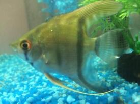 One angel fish