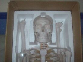 180cm LIFESIZED ANATOMICAL SKELETON