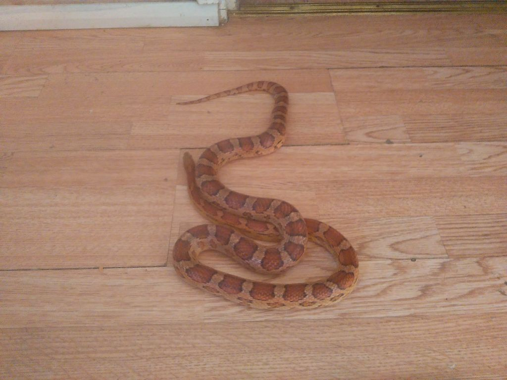 Corn Snake For Sale Vivarium In Ealing London Gumtree