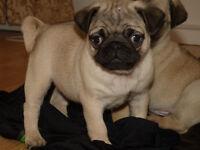 Chunky Pug Puppies 4 Sale