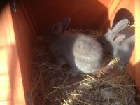 Grey male rabbits £10