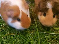 Brother guinea pigs