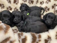 F1 Cockapoo Puppies Health tested parents