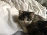 Fluffy girl kitten