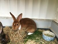 Mini Rex Buck male rabbit