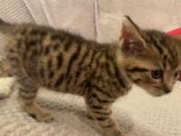 Female Tabby Kitten - I've Found a New Home ❤️😺