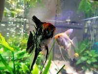 Angel Fish Tropical aquarium