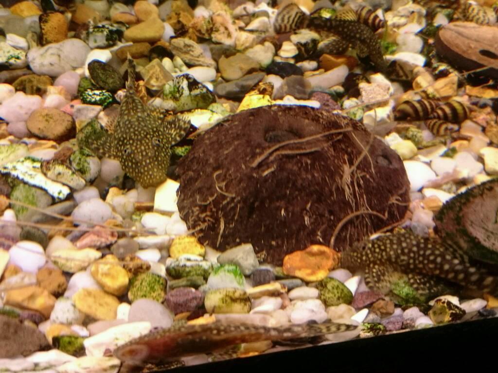 Bristlenose Catfish Ancistrus sp