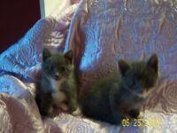 Boy and girl beautiful blue/gray kittens